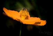 3rd Aug 2017 - lovely little bee