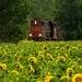 Sunflowers Turning to See Who is Invading Them by farmreporter
