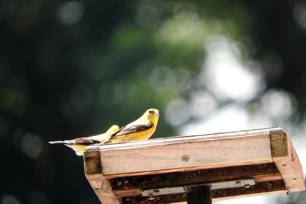 Birdie bokeh by homeschoolmom