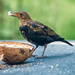 Greedy young blackbird