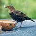 Greedy young blackbird