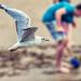 Tern in flight, Caswell Bay