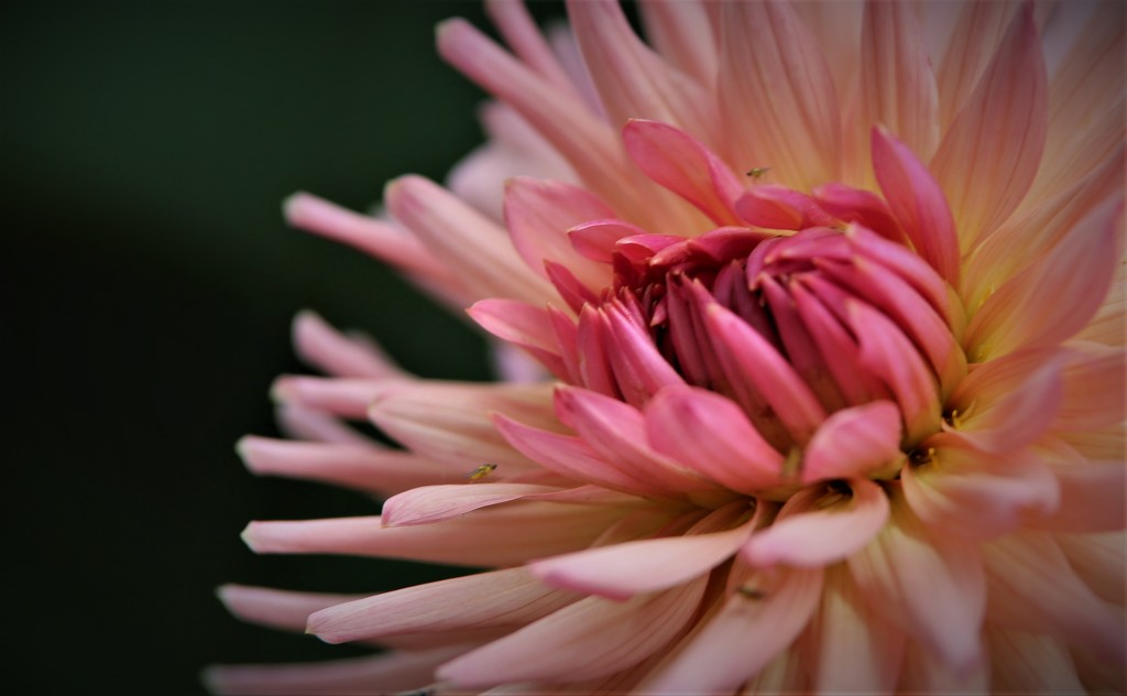 Dahlia Pink  by phil_sandford