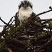 wet osprey by mjalkotzy