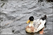 4th Aug 2017 - Is this a leucistic duck?