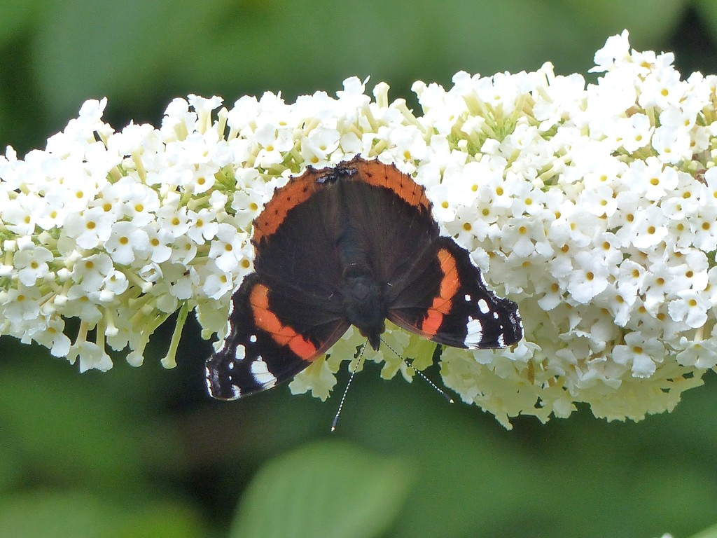 Red Admiral on White Buddleia by susiemc