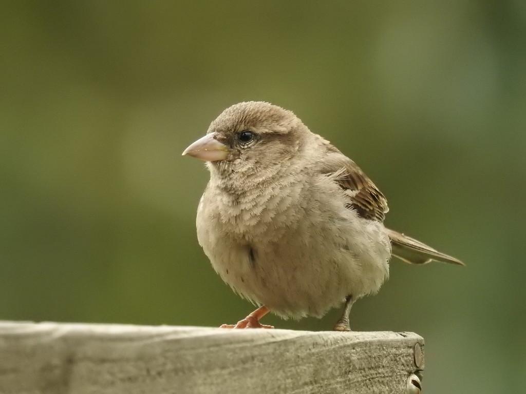 little sparrow by amyk