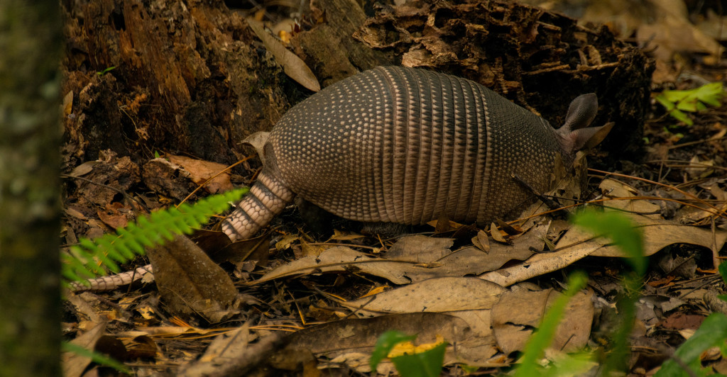 Armadillo Digging for A Snack! by rickster549