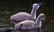 5th Aug 2017 - Black swan cygnets