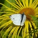 Green Veined White Butterfly on Yellow Daisy by susiemc