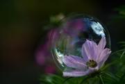 5th Aug 2017 - Cosmos bubble....