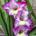 Gladioli by pcoulson
