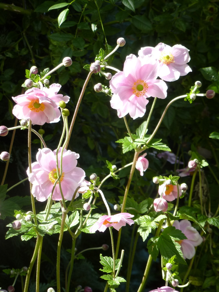 Japanese Anemones.... by snowy