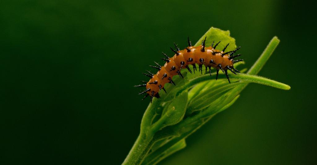 Gulf Fritillary Caterpillar! by rickster549