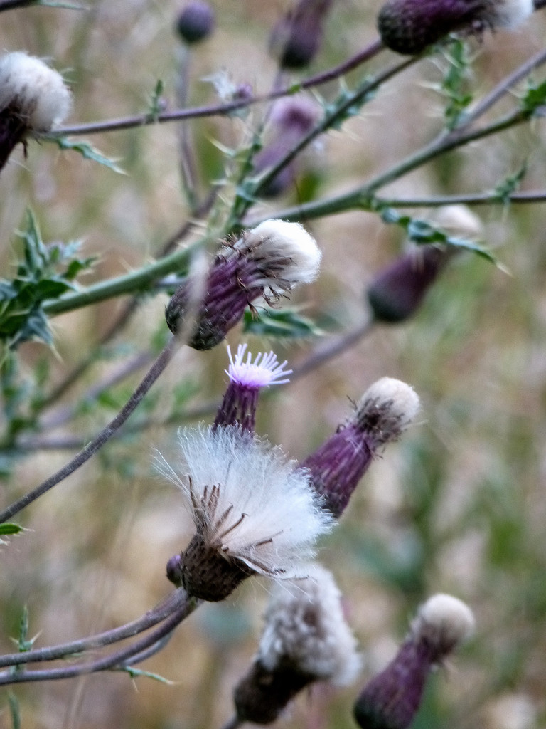 Thistles gone to seed... by snowy