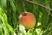 6th Aug 2017 - Just peachy
