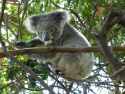 7th Aug 2017 - A Koala Came to Call