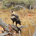 Wedge Tailed Eagles 54;  Poppo 1 by terryliv