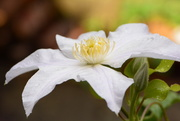 4th Aug 2017 - White Clematis....