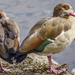 Egyptian Geese by tonygig