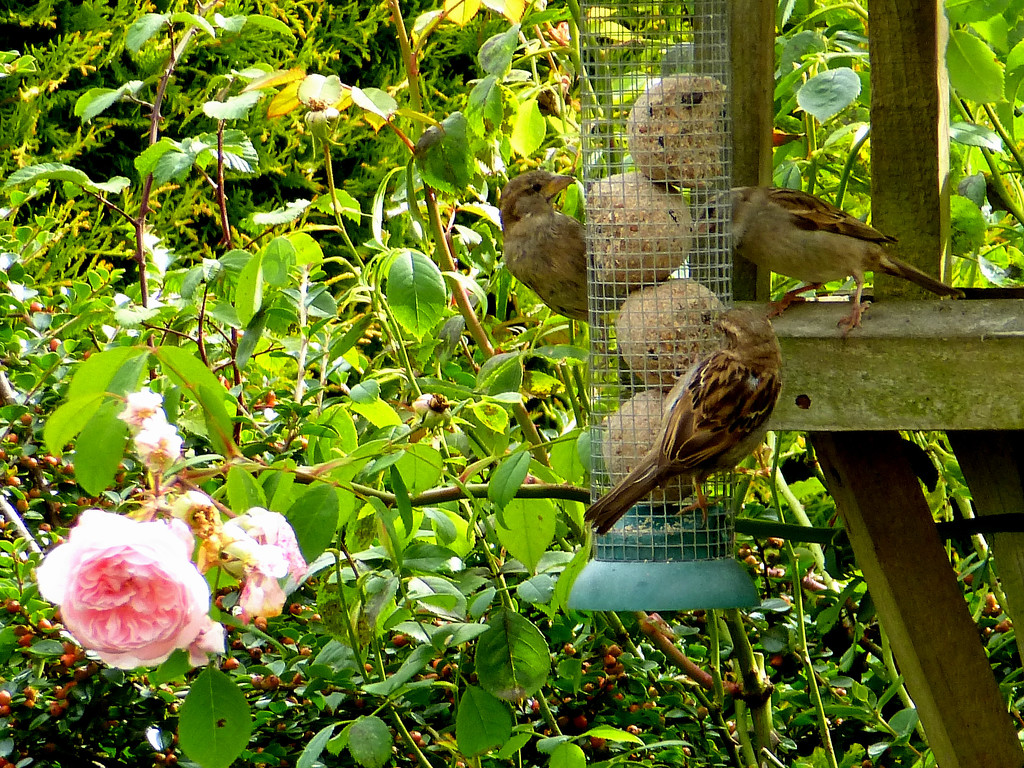 Sparrows tucking in at the bird table... by snowy