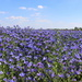 Back to the flowerfields- Campanula  by pyrrhula