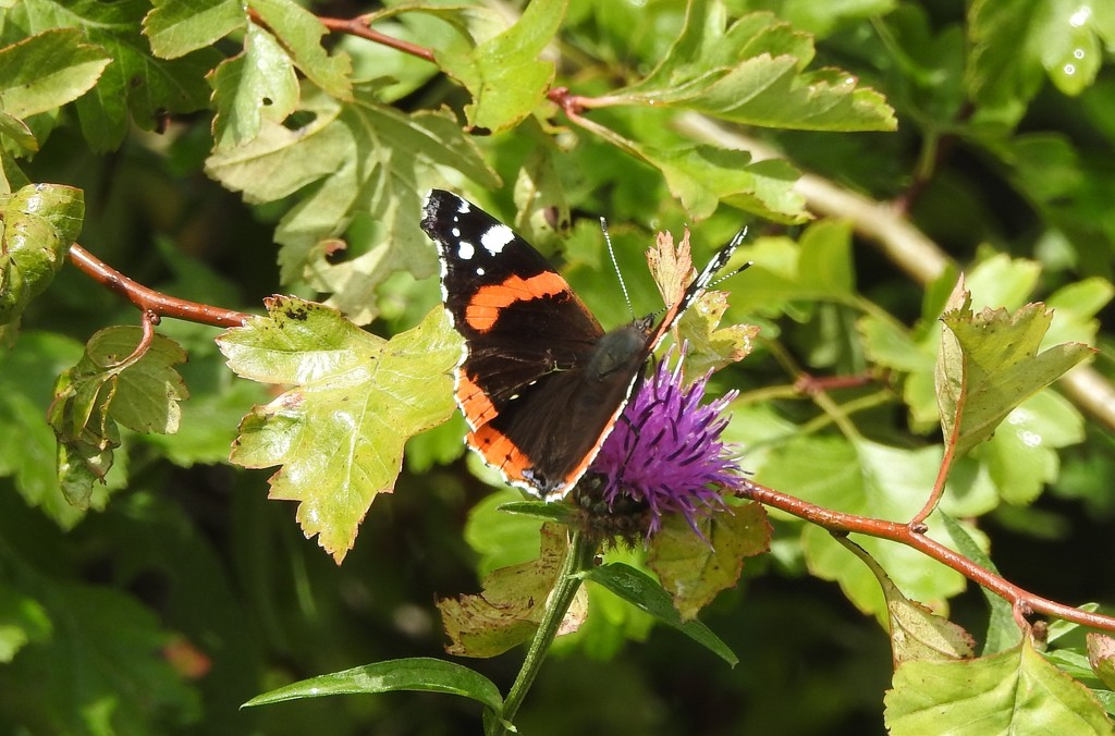 Red Admiral  by oldjosh