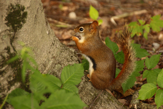 American Red Squirrel by fntngrma