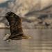Sea Eagle in the Lofoten Islands