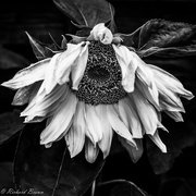 8th Aug 2017 - Sad Flower