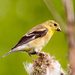 Goldfinch Sideview