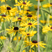 Brown Eyed Susans Patch
