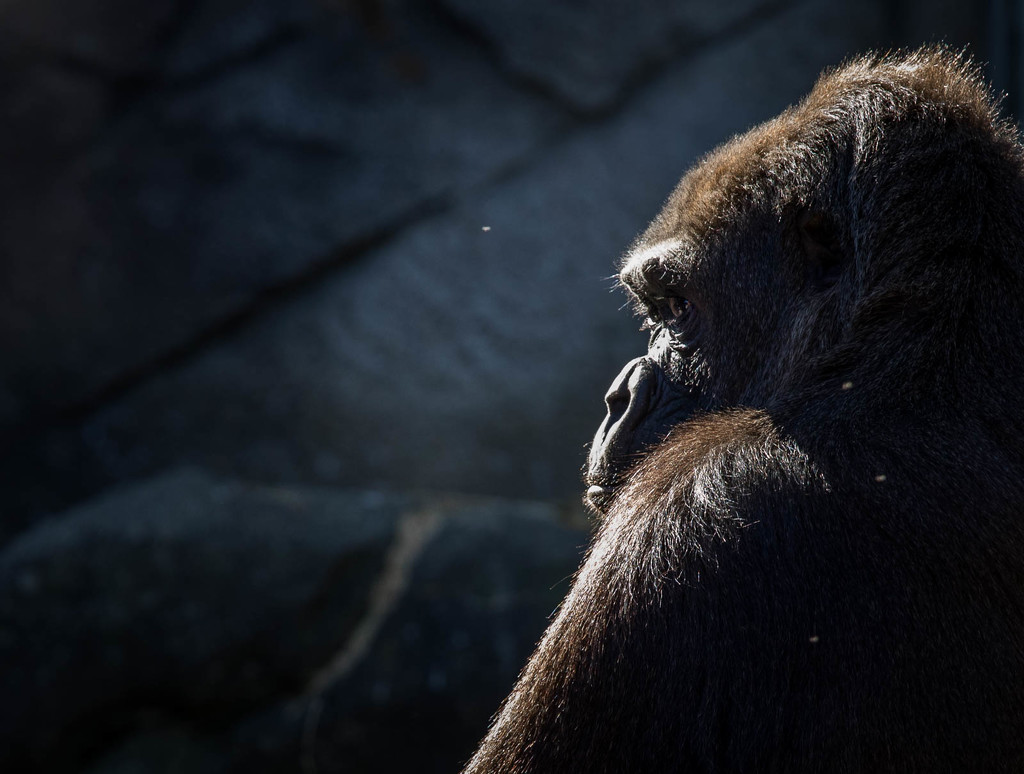 Contemplative Gorilla by jyokota