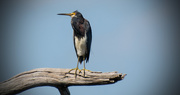 8th Aug 2017 - Tri-colored Heron in Ralph's Tree!