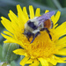 Buzzing on Yellow