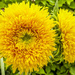 Sunflower. by tonygig
