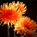 Dahlia Light Festival by carole_sandford