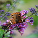 Buckeye on the Butterfly Bush by genealogygenie