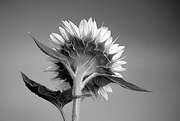 9th Aug 2017 - Black and White Sunflower!