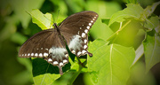 9th Aug 2017 - One More Spicebush Swallowtail Butterfly!