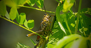 9th Aug 2017 - Eastern Lubber Grasshopper in the Bushes!