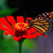 Butterfly and zinnia by congaree