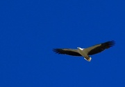 7th Aug 2017 - White Bellied Sea Eagle