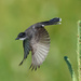another eastern kingbird