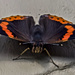 Red Admiral by tonygig