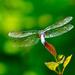 Dragonfly Backside