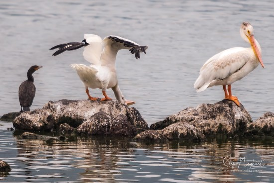 A cormorant and two pelicans walk into a bar... by stefneyhart