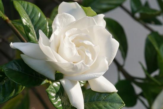 gardenia by amyk