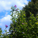 Rose of Sharon getting tall