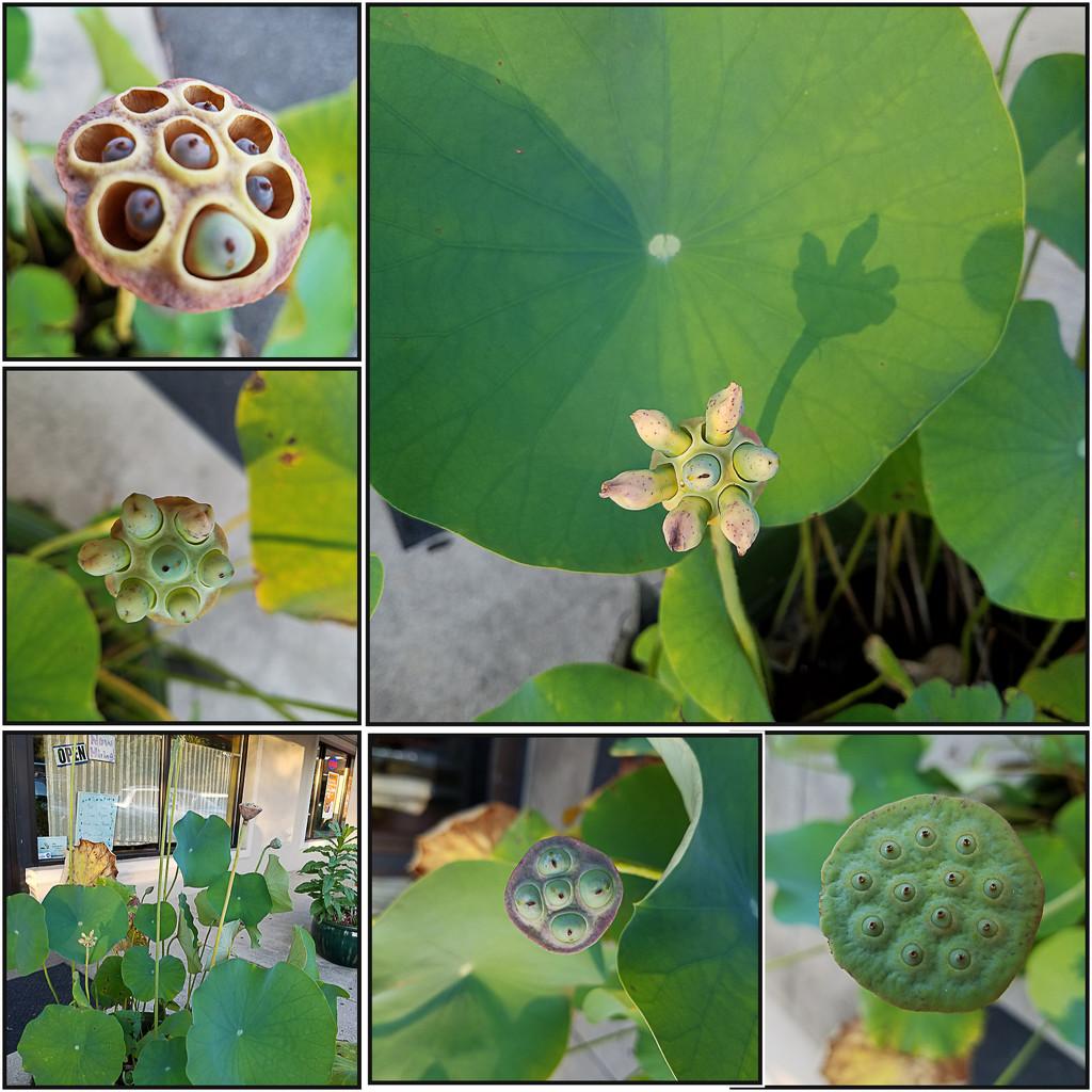 Lotus plant budding by randystreat